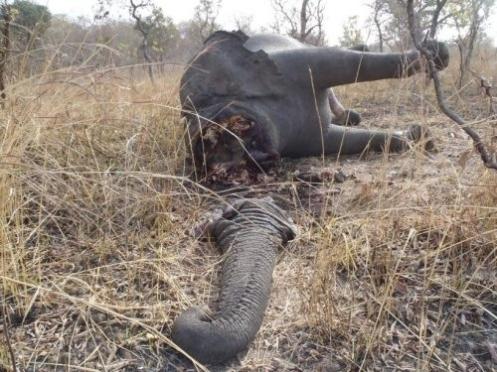 A voir! Lettre au futur président de la république...Pétition...Massacre  d'éléphants en Afrique : document  témoignage de quarante minutes Elephant